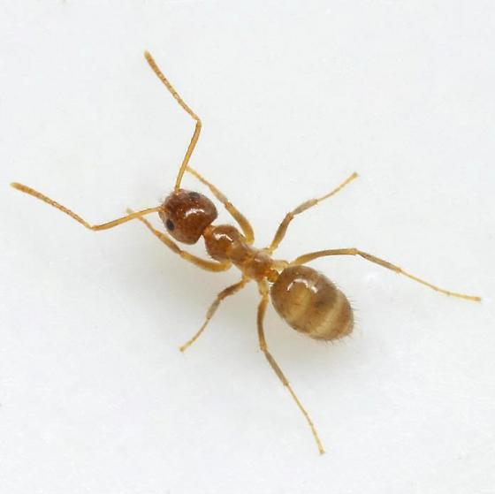 Rasberry Crazy Ant - Nylanderia fulva - female