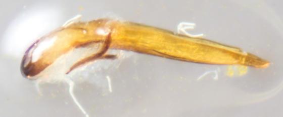 Beetle - Crepidodera nana - male