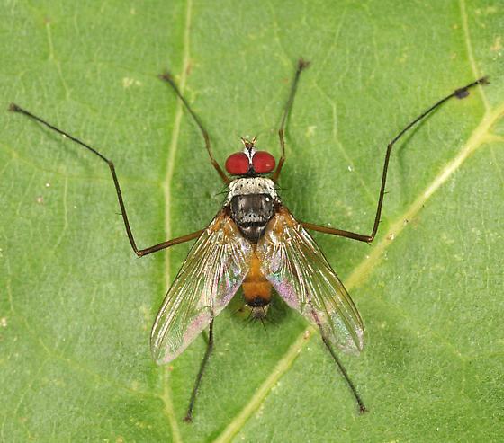 Tachinid - Cholomyia inaequipes - male