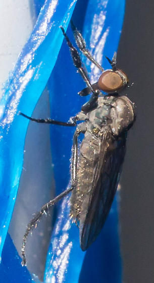 Black-legged fly - Rhamphomyia