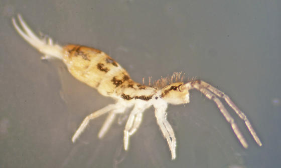 Unknown Springtail - Orchesella bulba