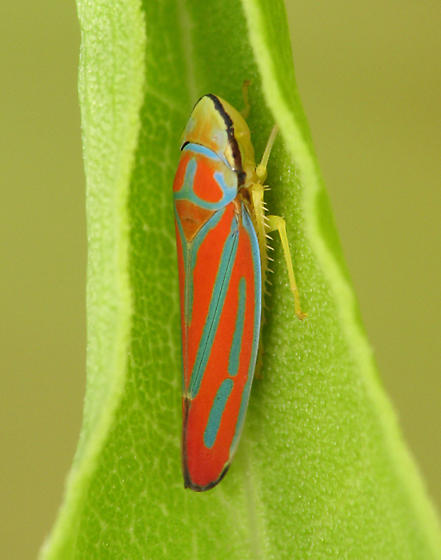 Cool - Graphocephala coccinea