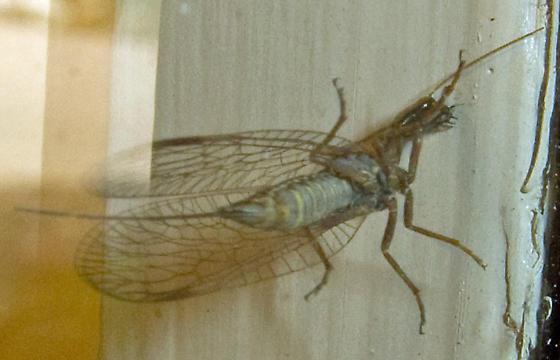 Snakefly - Agulla sp - Agulla - female