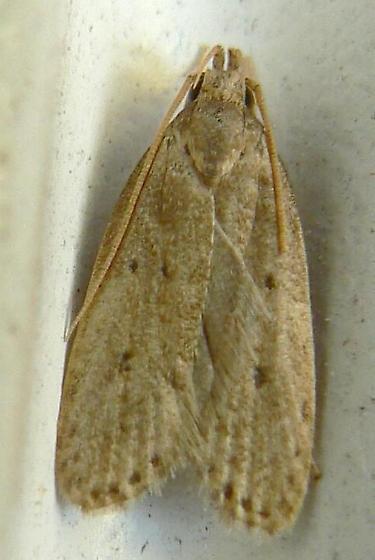 Moth - Autosticha kyotensis
