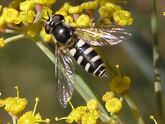 Any info on this Hover fly? - Melangyna - female