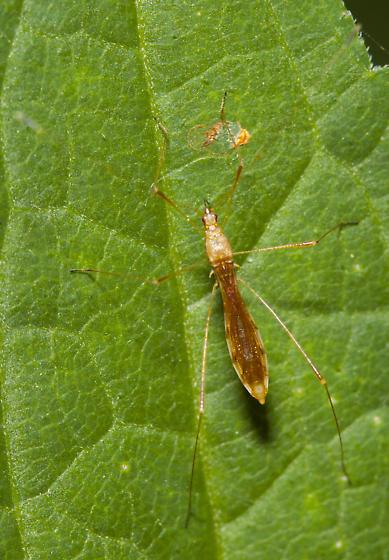 Thread legged bug - Jalysus