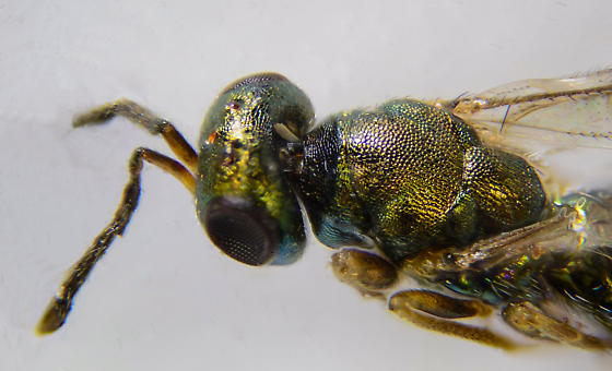 Chalcid Wasp of sorts...