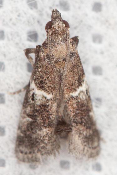 #5649 - Alpheioides parvulalis? - Alpheioides parvulalis