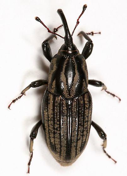 Billbug - Sphenophorus australis