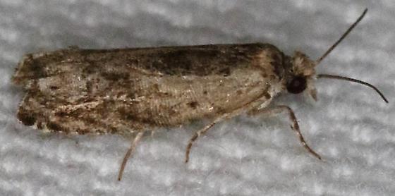 Tortricidae - Crocidosema plebejana