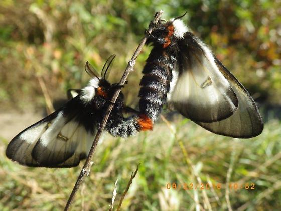 Buck Moth, Hemileuca sp. - Hemileuca lucina - male - female