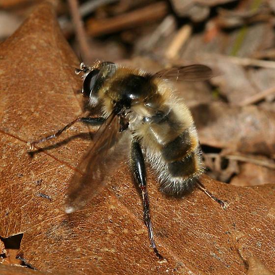 Syrphid fly - Criorhina verbosa