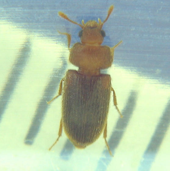 Small beetle from carrion station - Typhaea stercorea