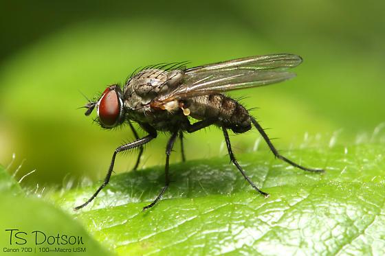 Small Fly - Delia - male