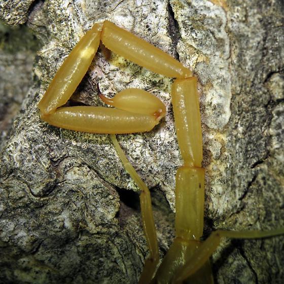 Which Centruroides? - Centruroides sculpturatus - male