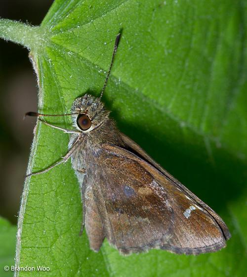 Lerema accius - female