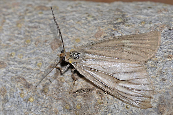 Phryganidia californica - male