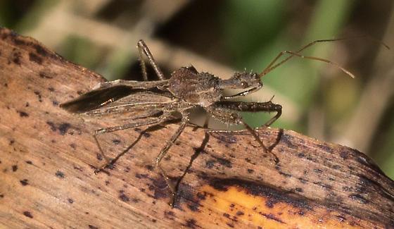Assassin bug – genus Sinea? - Sinea