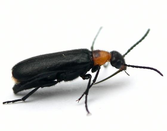 Nemognatha nemorensis