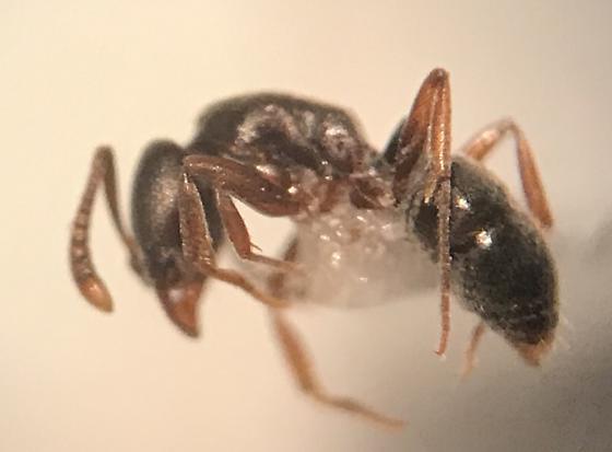Hypoponera opaciceps - female