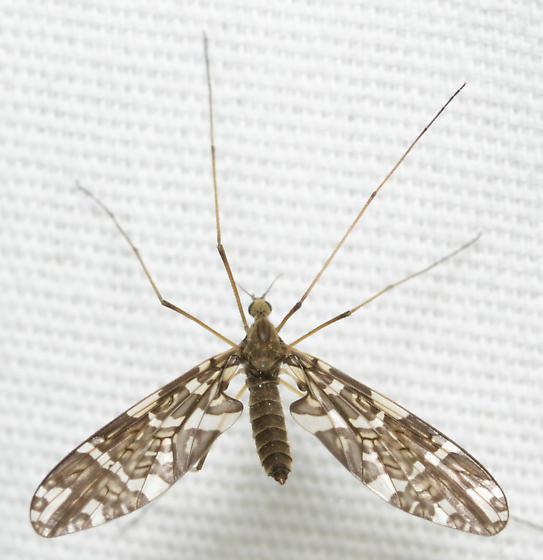ornate winged bug - Protoplasa fitchii - female