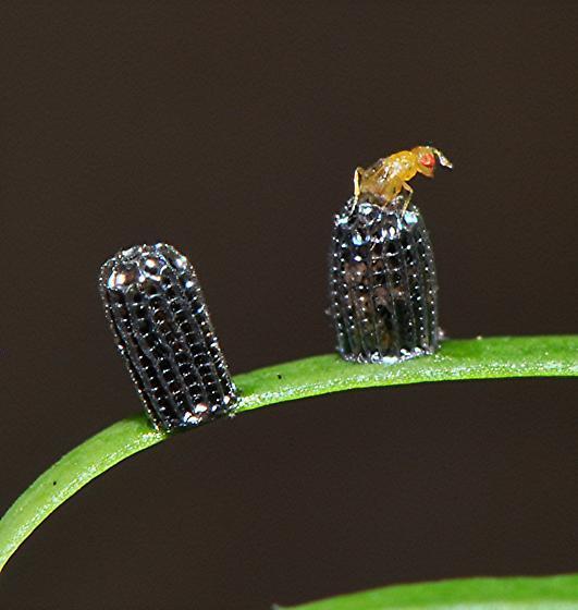Which Braconid Wasp?
