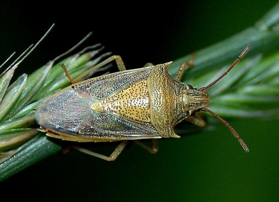 Rice Stink Bug - Oebalus pugnax
