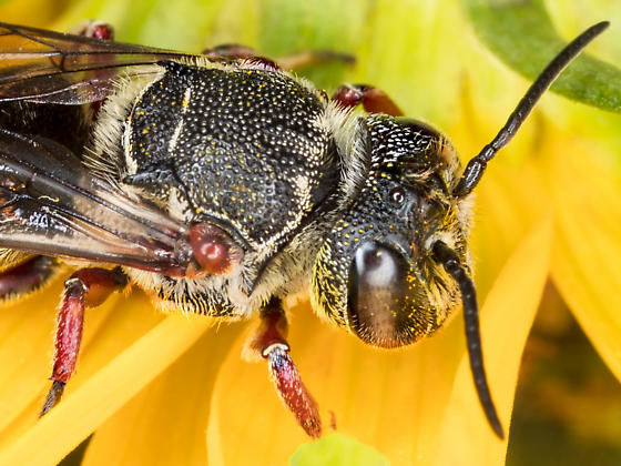 Large Cuckoo Leafcutter Bee - Coelioxys modestus - female