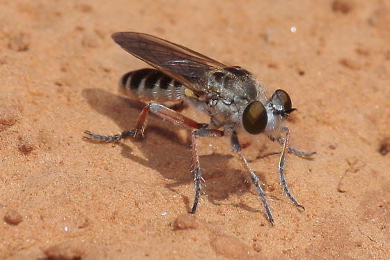 Robber Fly - Laphystia