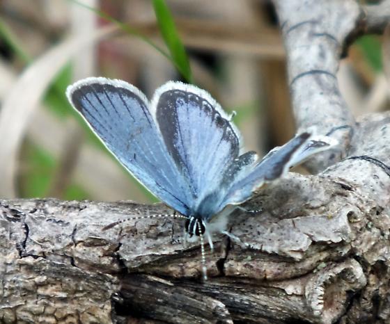 Blue butterfly  - Cupido comyntas