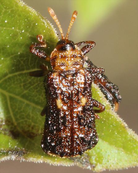 Beetle - Octotoma marginicollis