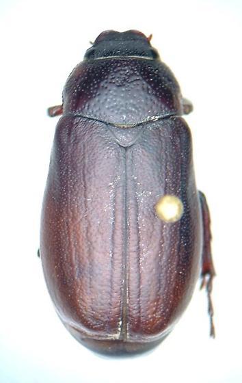 Phyllophaga kentuckiana - male