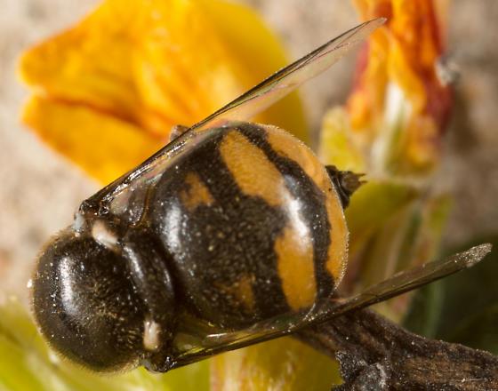 Acrocera sp. - Acrocera melanderi - female