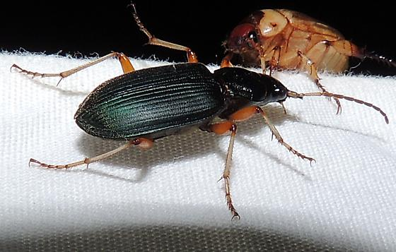 unkn beetle - Chlaenius leucoscelis