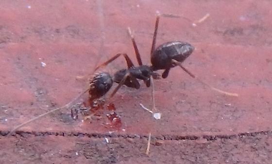 Ant - Paratrechina longicornis