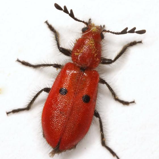 Pelonides quadrinotata (Haldeman) - Pelonides quadrinotata - female