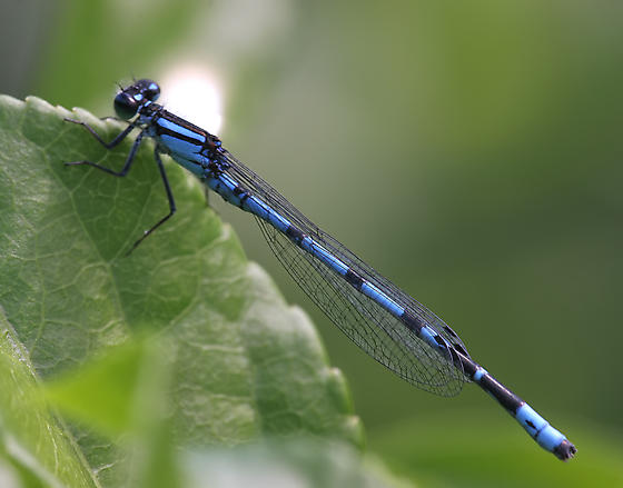 New England Bluet - Enallagma laterale - male
