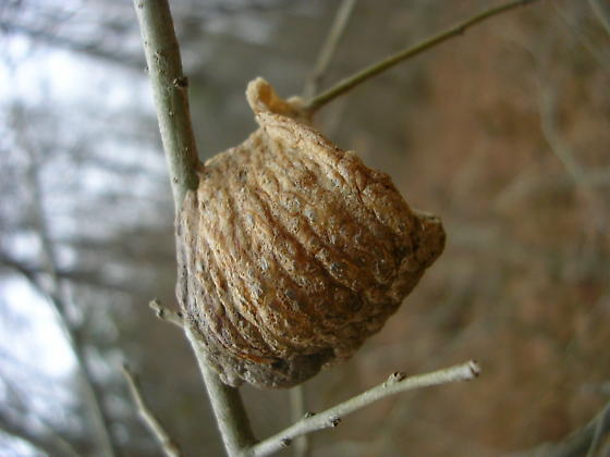 Cocoon(?) - Tenodera sinensis