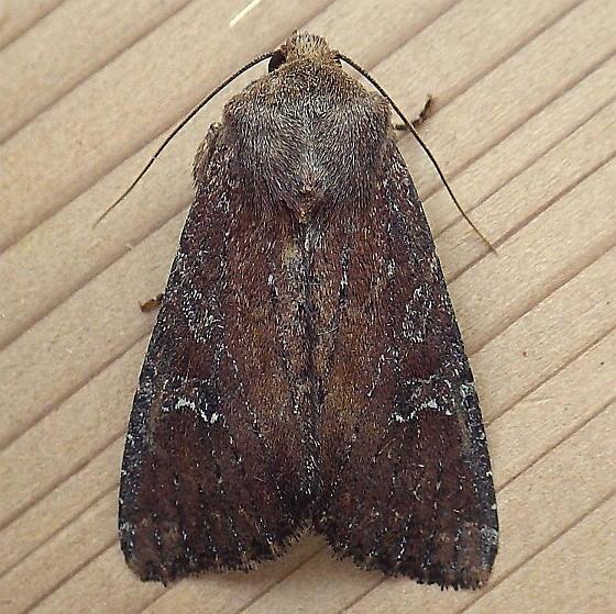 Noctuidae: Apamea scoparia - Apamea scoparia