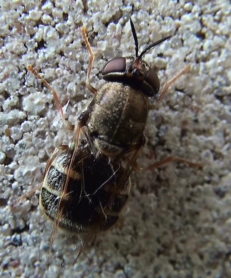 Syrphidae: Which genus? - Odontomyia