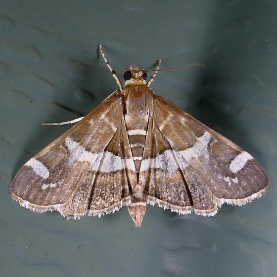 Beet Webworm - Spoladea recurvalis