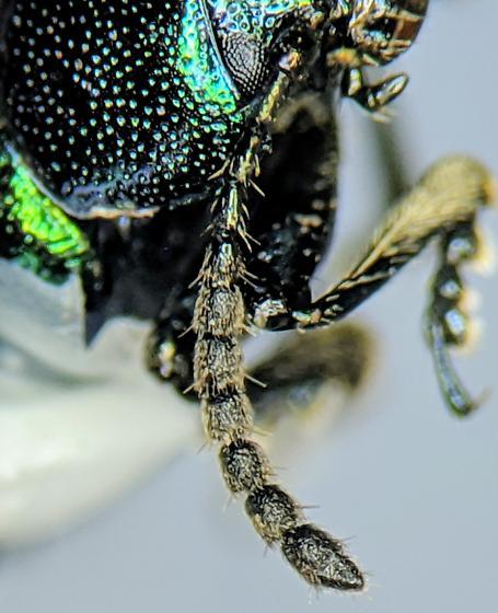 Del Puerto Beetle 1 - Gastrophysa cyanea