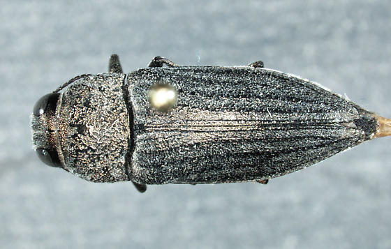 Gyascutus pacificus (Chamberlin, 1938) - Gyascutus pacificus - female