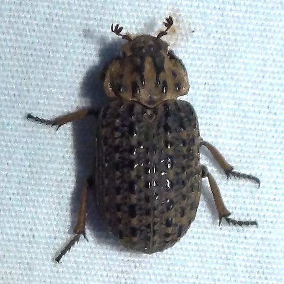 Beetle ID Request - Omorgus