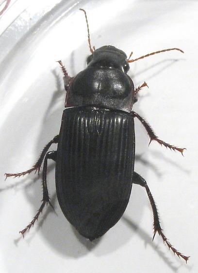 Murky Ground Beetle - Harpalus caliginosus