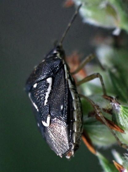 stink bug - Mormidea pama