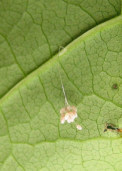 Hanging Eggs - Leucochrysa insularis