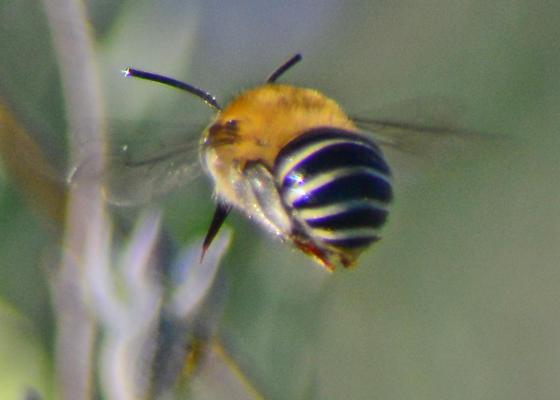 Irvine Park Hit & Run Bees - Anthophora californica - male