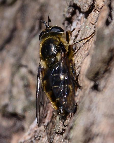 Fly - Merapioidus villosus - female