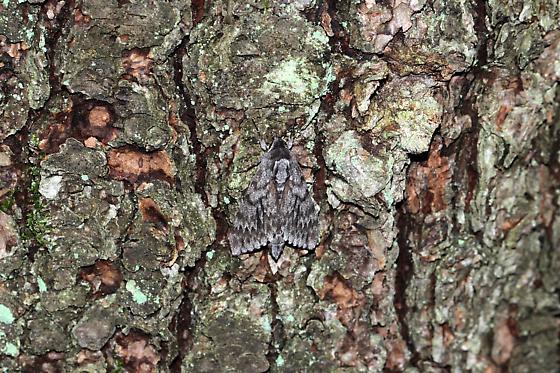 Lepidopera, Sphingidae - Lapara bombycoides